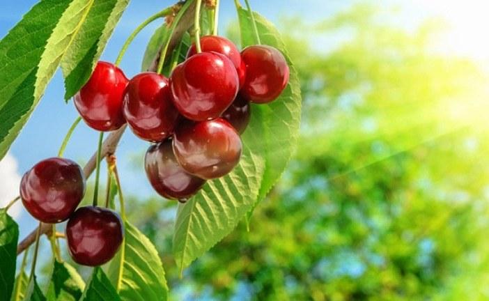 Třešně a jejich pěstování
