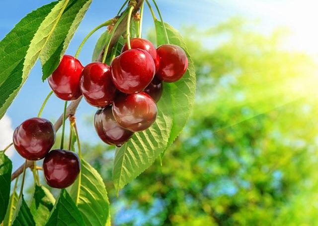 jak na třešně