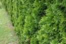 Kdy stříhat a ošetřovat živý plot z tújí?